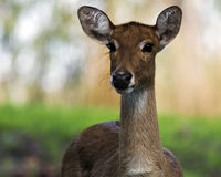 Eld's deer doe Stock Images