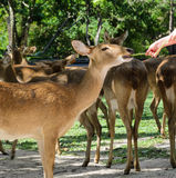 Eld's deer feeding Stock Images
