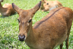 Eld's Deer on the grass Stock Photography