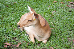 Eld`s Deer on grass Royalty Free Stock Image