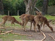 Eld`s deer group Stock Images