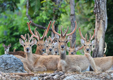 Eld's deer Stock Photography