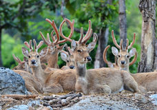 Eld's deer. Group of eld's deer resting in the forest Royalty Free Stock Image