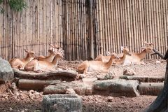 Eld`s deer group sitting in the zoo. On bamboo background Stock Photo