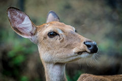 Eld's deer. Head of female eld's deer Royalty Free Stock Images
