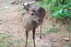 Eld's deer. The image of the  eld's deer also known as the thamin or brow-antlered deer, is an endangered species of deer indigenous to Southeast Asia Stock Photos
