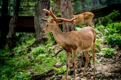 Eld`s deer. Image of male eld`s deers in the zoo Stock Images