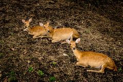 Eld`s deer. Image of Three Female eld`s deers Stock Photography