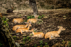 Eld`s deer. Image of Three Female eld`s deers Stock Image