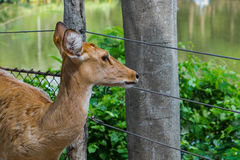 Eld's deer at Khao Kheow Open Zoo Royalty Free Stock Photo