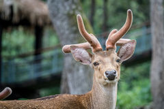 Eld's deer. Male eld's deer Stock Images