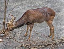 Eld`s deer male 5 royalty free stock image