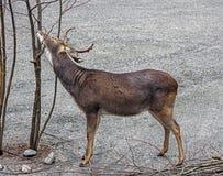 Eld`s deer male 2 Stock Images