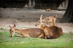 Eld's deer (Panolia eldii) Royalty Free Stock Photo