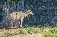 Eld's deer Stock Image