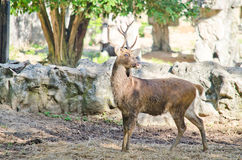 Eld's deer Royalty Free Stock Photos