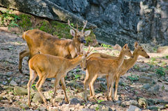Eld's deer. (Panolia eldii) also known as the thamin or brow-antlered deer, is an endangered species of deer indigenous to Southeast Asia Royalty Free Stock Images