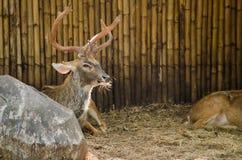 Eld's deer Royalty Free Stock Images