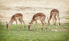 Eld's deer (Panolia eldii), beauty in nature Royalty Free Stock Photos