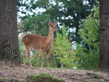 Eld`s deer, Panolia eldii. Close up of Eld`s deer Royalty Free Stock Photography