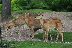 Eld`s deer, Panolia eldii. Close up of Eld`s deer Royalty Free Stock Photo