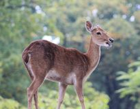 Eld`s deer, Panolia eldii. Close up of Eld`s deer Stock Photo