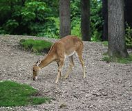Eld`s deer, Panolia eldii. Close up of Eld`s deer Royalty Free Stock Photos