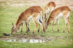 Eld's deer (Panolia eldii), group of animals. Eld's deer (Panolia eldii), also known as the thamin or brow-antlered deer, is an endangered species of deer Royalty Free Stock Image