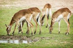 Eld's deer (Panolia eldii), group of animals by the water. Eld's deer (Panolia eldii), also known as the thamin or brow-antlered deer, is an endangered species Royalty Free Stock Photo