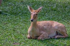 Eld`s deer or Panolia eldii Stock Photography