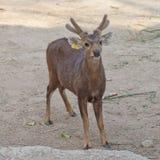 Eld's Deer Stock Images