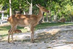 Eld's deer Relaxing Day Stock Image