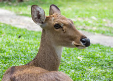 Eld's Deer in Thailand Royalty Free Stock Photography