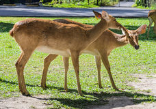 Eld's deer. Two of cute Eld's deer Stock Image