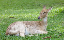 Eld s Deer in wild nature Royalty Free Stock Photography