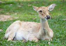 Eld s Deer in wild nature Stock Image