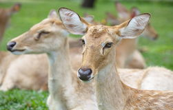 Eld s Deer in wild nature Stock Images