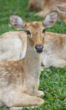 Eld s Deer in wild nature Stock Photography