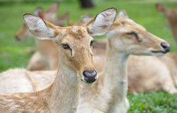 Eld s Deer in wild nature Royalty Free Stock Photos