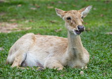 Eld s Deer in wild nature Stock Photo
