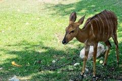 Eld`s deer. The eld`s deer in the zoo Stock Photography