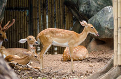 Eld's Deer in zoo Royalty Free Stock Image