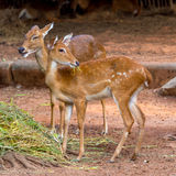 Eld's deer in the zoo Stock Photos