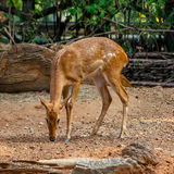 Eld's deer in the zoo Royalty Free Stock Photography