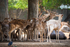 Eld`s deers. In modern park zoo Royalty Free Stock Image