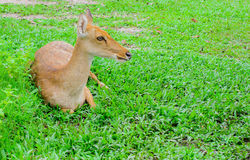 Eld's deers reclining on grass. In forest Royalty Free Stock Photo