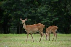 Eld's Deers in zoo. Eld's Deers free in zoo, Thailand Stock Photos