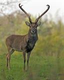 Eld's jeleni jeleń Zdjęcia Royalty Free