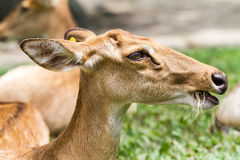 An eld. In Thailand in the zoo, there is eld`s dear Stock Image