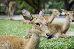 Eld& x27; ciervos de s Foto de archivo libre de regalías